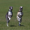 Dogs at Play 3rd Place Winner, Maurice Jones ©, UK