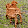 Dogs at Play 2nd Place Winner, Elouise Leland ©, USA