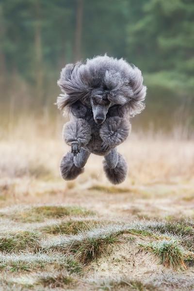 Judges Mention, Dogs at Play, Femke Puijman ©, Netherlands
