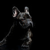 Judges Mention, Dog Portrait, Marie de Verdier Persson ©, Sweden
