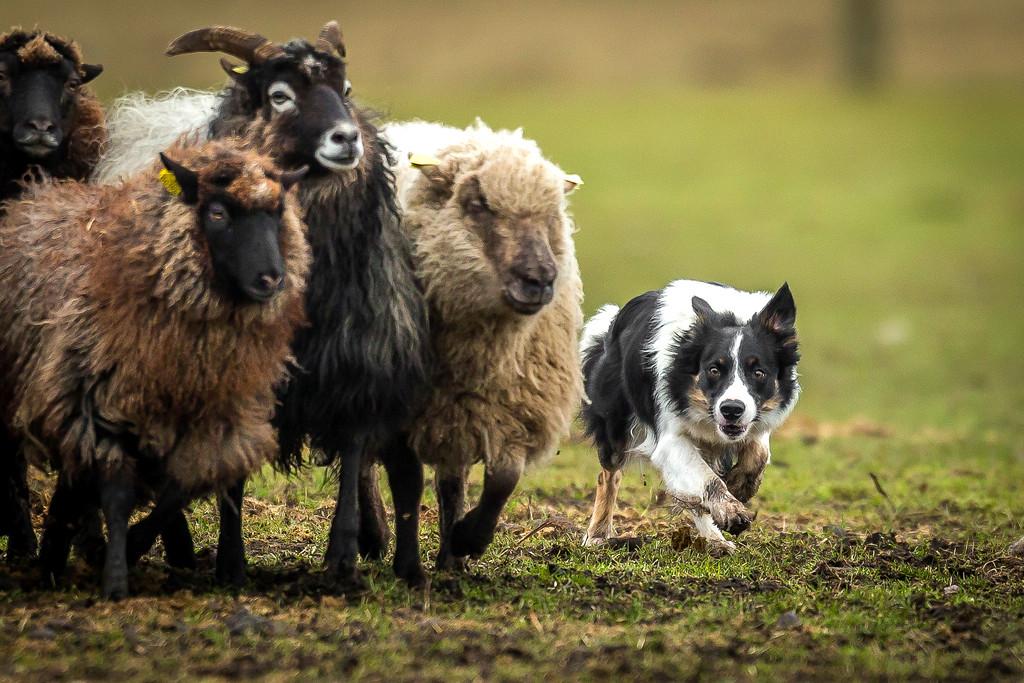 Dogs at Work 3rd Place Winner, Peter Steffensen ©, Denmark