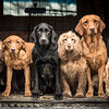 Dogs at Work 1st Place Winner  Tracy Kidd, United Kingdom