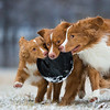 Dogs at Play Category 3rd Place Winner  Sarah Beeson, United States of America