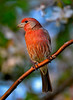 41 -Red Finch On Limb -David Birmingham - ACCEPTED