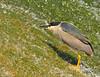 31 -Black Crowned Night Heron Stalking Prey