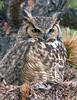 30 - Great Horned Owl