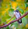 32 - Hummingbird on limb