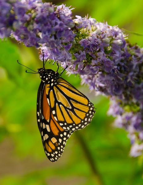 Monarch  Just  Hanging  Around