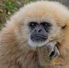 33 - Gibbon - Award - PK Mattingly