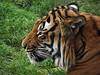 33 - Big Cat - Award - by Sondra Barry