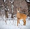 36 - Doe one foot up in snow - Award - by David Birmingham