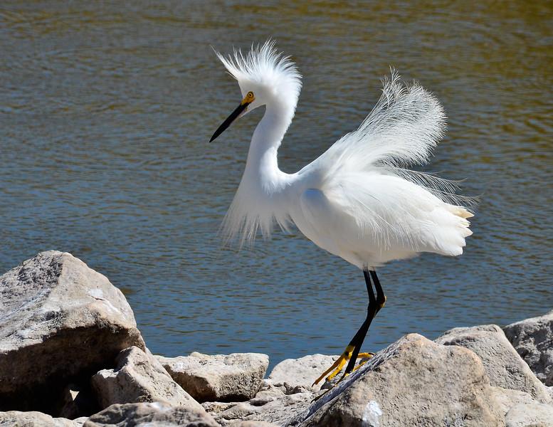 Snowy Egret # 10