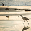 Three long-billed curlews wade in the golden light of sunset.