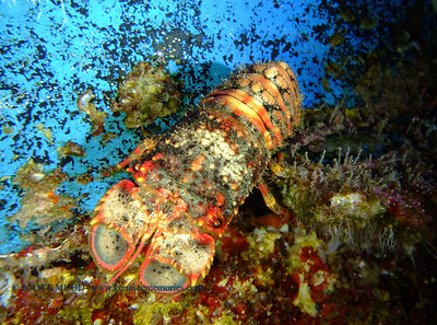 regal slipper lobster at night (夜のセミえび)
