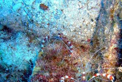 オトヒメエビ (banded coral shrimp)
