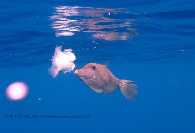 filefish eating jellfish (くらげを食べているソウシハギ)