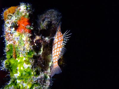 longnose hawkfish at night (夜のクダゴンベ)