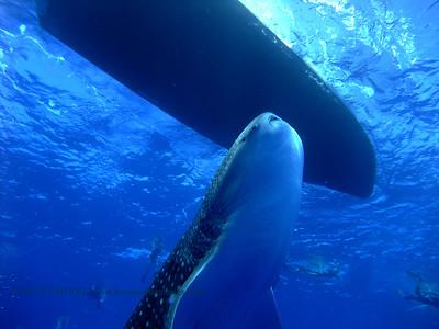 whaleshark (ジンベイザメ)