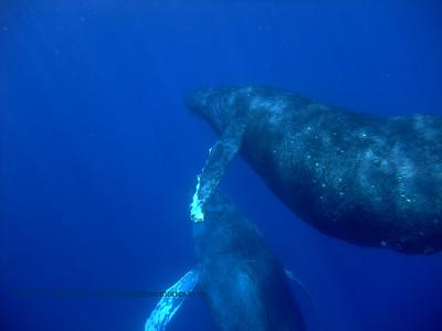 humpback whales (ザトクジラ達)