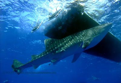 whaleshark under boat (ボートの下ジンベサメ)