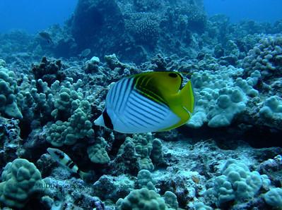 トゲチョウチョウウオ (threadfin butterfly fish)