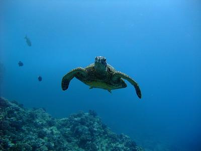 アオウミガメ (green sea turtle)