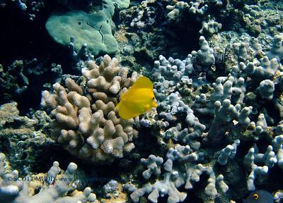 yellow tang (キイロハギ)