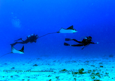 divers and eagle rays