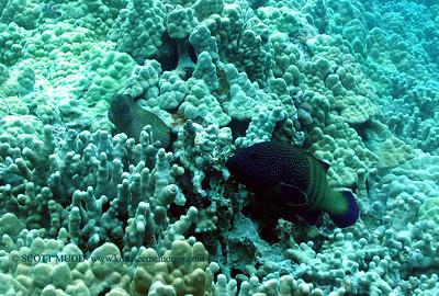 whitemouth moray and peacock grouper (ハナビラウツボとアオノメハタ)