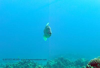 finescale trigger fish (モンガラ)
