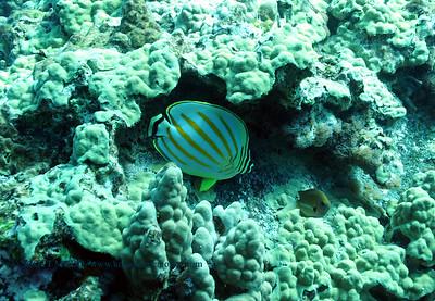 multiband butterfly fish (ハナグロチョウチョウウオ)
