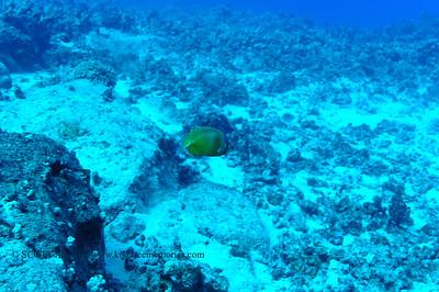 blacklip butterfly fish(ブルーヘッドバタフライ)
