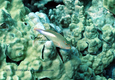 arceye hawkfish (メガネゴンベ)