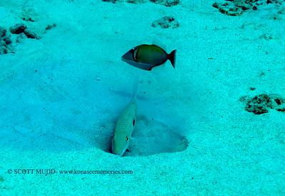 goatfish digging (アカヒメジ)
