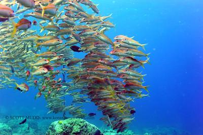 goatfish (アカヒメジ)