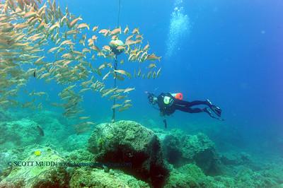 diver and goatfish (ダイバーとアカヒメジ)