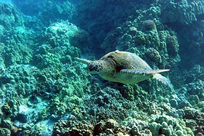 green sea turtle (アウウメガメ)