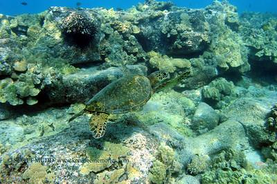 green sea turtle (アウウミガメ)