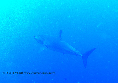 mako shark (アオザメ)
