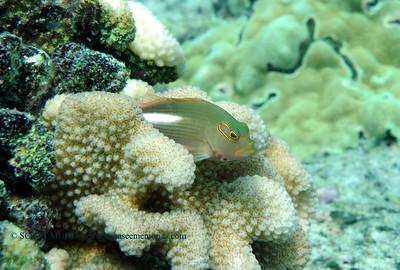 arc-eye hawkfish (メガネゴンベ)