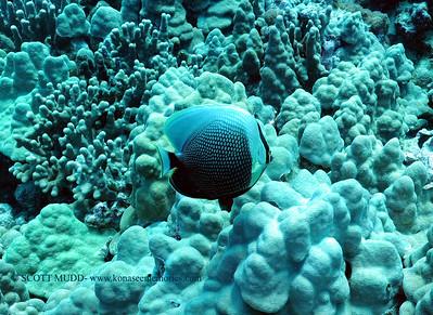 reticulated butterflyfish (ハクテンカたぎチョウチョウウオ)