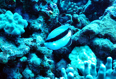 bandit angelfish (バンディットエンジェル