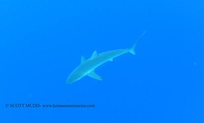 silky shark (クロトガリザメ)