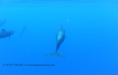 pilot whale (コビレゴンド)