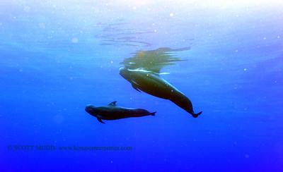 pilot whales (コビレゴンド達)