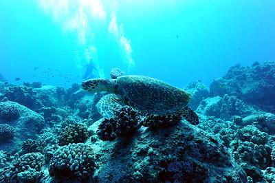 hawksbill turtle (タイマイ亀)