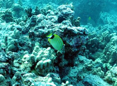 bluestripe butterfly fish(ブルーストライプチョウチョウウオ)
