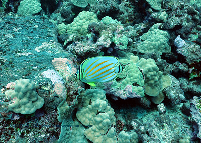 ornate butterfly fish (ハナグロチョウチョウウオ)