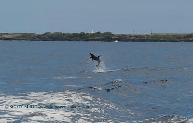 jumping dolphin (飛んでいるイルカ)