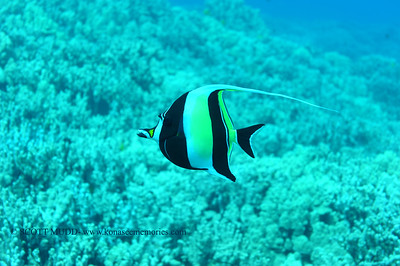 moorish idol (ツノダシ)